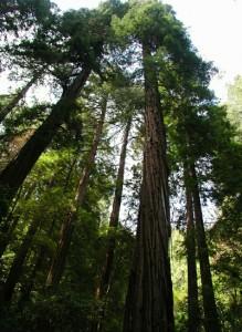 Muir_woods_redwoods