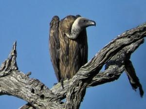 08082008_vulture