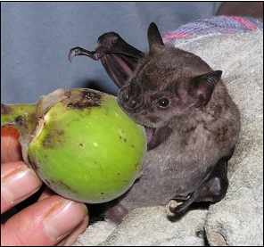 fig_eating_bat_mikecastle