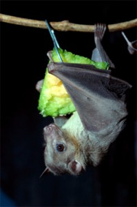 fruit-bat